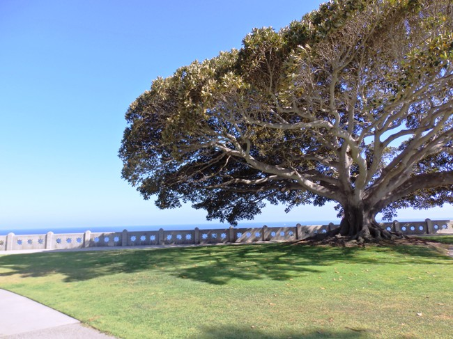 Point Fermin Park Tree with Ocean View